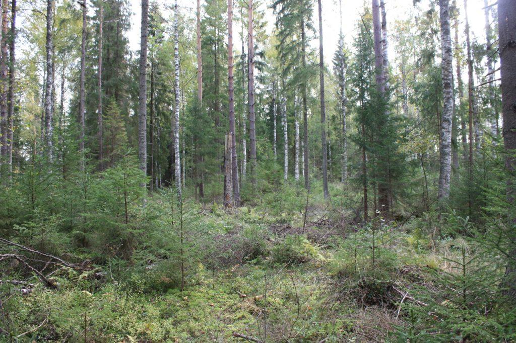 Luonnon metsä